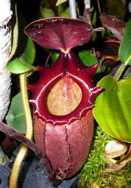 Ameisen an Nepenthes rajah
