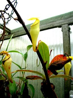 nepenthes_pervillei_RG1.jpg