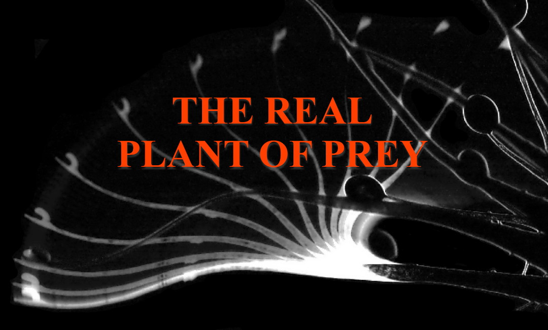 The real plant of prey